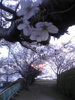 もうちょっとで夜桜