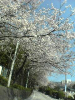 通勤時の桜