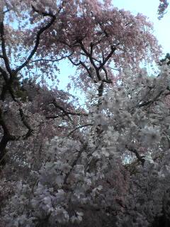 近衛家の桜
