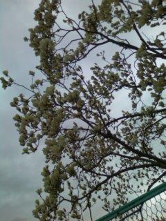 曇下の木蓮
