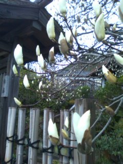 庭先の木蓮