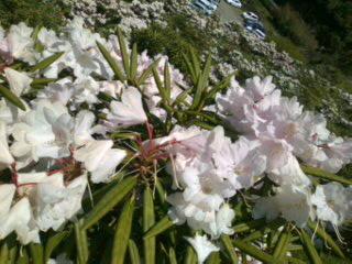 石楠花を見に