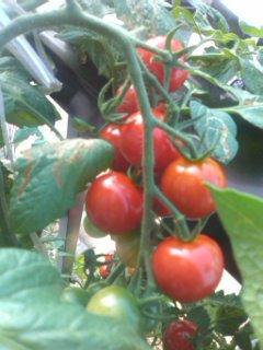初夏のベランダ菜園
