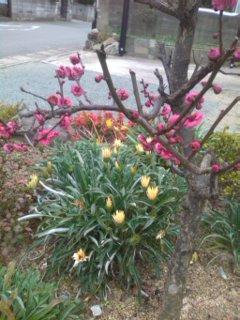 ご近所の梅