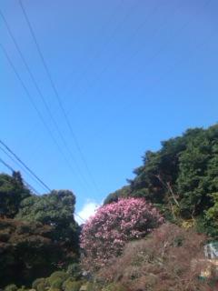 山茶花の大木