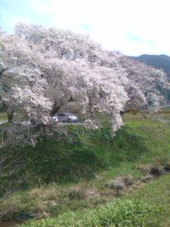 桜を見納めに