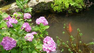 鯉と紫陽花