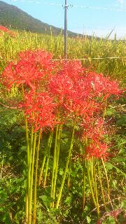 秋穂と彼岸花