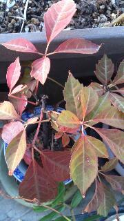 ベランダの紅葉