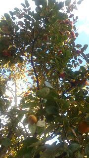 秋の味覚、柿