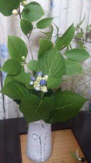 紫陽花と萩やき
