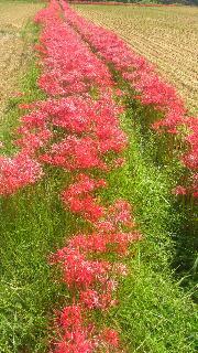 彼岸花の畦道