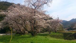 一ノ瀬の桜2