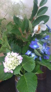 紫陽花もさもさ